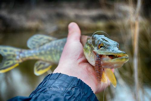 Тот рыбаком не стал, кто щуку не поймал!